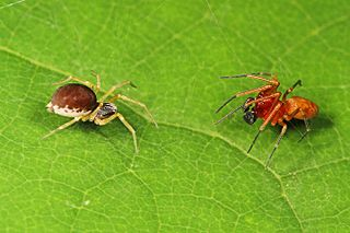 <i>Emblyna</i> Genus of spiders