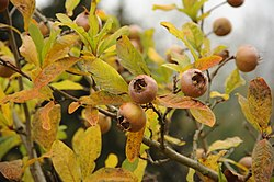 Mespilus germanica - Meadowbrook Park.jpg
