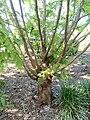 Metasequoia glyptostroboides - J. C. Raulston Arboretum - DSC06287.jpg
