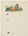 Midas rosalia - 1833-1839 - Print - Iconographia Zoologica - Special Collections University of Amsterdam - UBA01 IZ20200041.tif