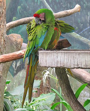 Military macaw - Image: Military Macaw jbp