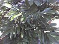 Millettia grandis leaves.jpg