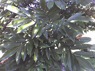 South African tree species