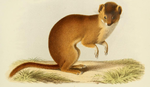 Milne Edwards - Mustela sibirica fontanierii.png