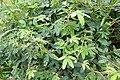 Mimosa pudica à São Tomé (2).jpg