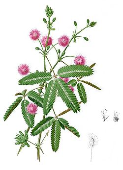 Mimosa pudica Blanco2.253-cropped.jpg