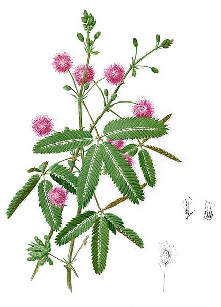 Soubor:Mimosa pudica Blanco2.253-cropped.jpg