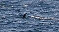 Minke whale 3 (6211084967).jpg