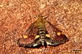 Mint moth (BG) (30806175420).jpg