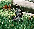 Mockingbird Feeding Chick002.jpg