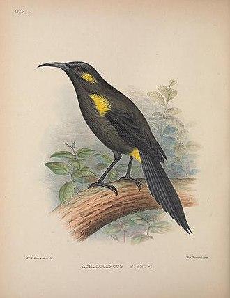 Mohoidae - Image: Moho bishopi