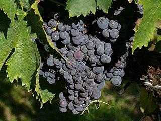 Sagrantino varietal