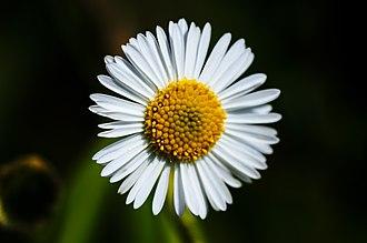 Erigeron annuus - Close-up of an isolated eastern daisy fleabane