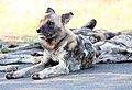 Mosetlha, Madikwe Game Reserve, South Africa (32988817958).jpg