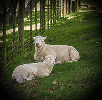 Cornwall Park, Auckland - Auckland ewe and lamb
