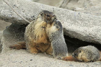 Maternal bond - A mother Yellow-bellied Marmot kissing her pup.