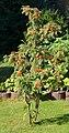 Mountain-Ash Farnblättrige Eberesche Sorbus scalaris 15.jpg