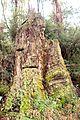 Mountain Ash (Eucalyptus regnans) trunk from previous logging.JPG