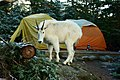 Mountain Goat (105056819).jpeg