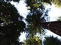 Muir Woods National Monument 01 Coast Redwood (Sequoia sempervirens).jpg