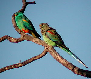 Multi-colored parakeet pair, left the male