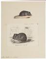 Mus rattus - 1700-1880 - Print - Iconographia Zoologica - Special Collections University of Amsterdam - UBA01 IZ20500073.tif