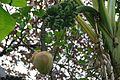 Musa x paradisiaca-Japoniar bananondo 36.jpg