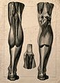 Muscles of the back of the leg; three figures. Lithograph by Wellcome V0008439EL.jpg