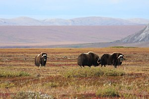 Tundra - A group of muskoxen in Alaska