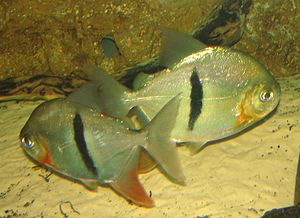 Characidae - The piranhas and relatives (like these disk tetras, Myleus schomburgkii) might be a distinct family.