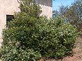Myrtus communis10.jpg