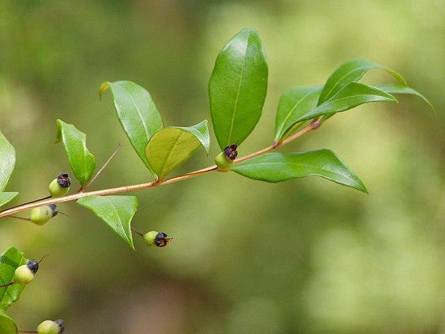détail des feuilles et des baies de la myrte
