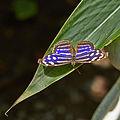 Myscelia cyaniris-IMG 0816.JPG