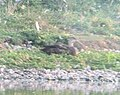 Mystery Duck, Caledonia Waste Water Facility, September 3, 2012 (7982295509).jpg