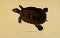 N182 Sowerby & Lear 1872 (trachemys decussata).jpg