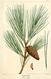 NAS-137 Pinus echinata.png