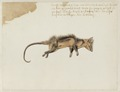 NL-HlmNHA 53004664 Zuid-Amerikaanse opossum ook wel witooropossum.tif