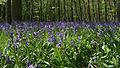 NSG Kellenberger Kamp Hasenglöckchen (Hyacinthoides) 2 DE-NW.jpg