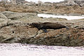 NZ Fur Seal - 1231 2013 004 (14000925007).jpg