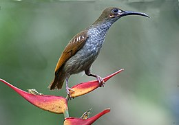 Naked-faced spiderhunter.jpg