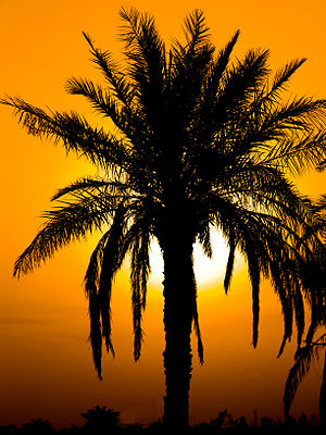Palm and sunset in Minoo Island (Persian Gulf)