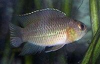 Nannacara anomala juvenile2.jpg