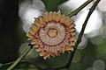 Napoleonaea vogelii (Lecythidaceae) (24335579262).jpg