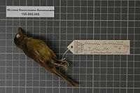 Naturalis Biodiversity Center - RMNH.AVES.135033 1 - Microeca flavovirescens flavovirescens Gray, 1858 - Eopsaltriidae - bird skin specimen.jpeg