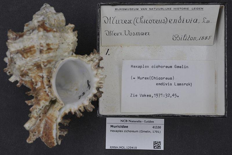 File:Naturalis Biodiversity Center - RMNH.MOL.129419 - Hexaplex cichoreum (Gmelin, 1791) - Muricidae - Mollusc shell.jpeg