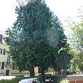 Naturdenkmal Nr. 51 Riesen-Lebensbäume in Babelsberg Nord.jpg