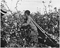 Near Eloy, Pinal County, Arizona. Child labor in the Arizona cotton harvest. Twelve-year-old. Does n . . . - NARA - 522024.jpg