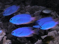 Neon damselfish.jpg