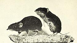 Neotetracus sinensis.jpg