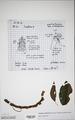 Neuchatel Herbarium Types NEU000113012.tif